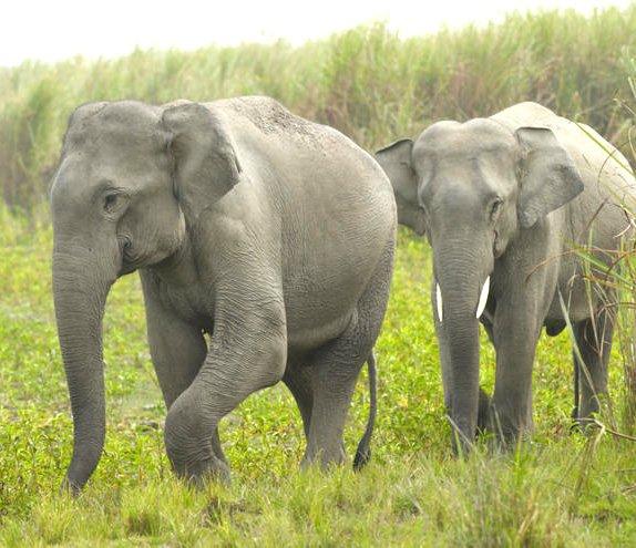 Olifanten In Het Nauw