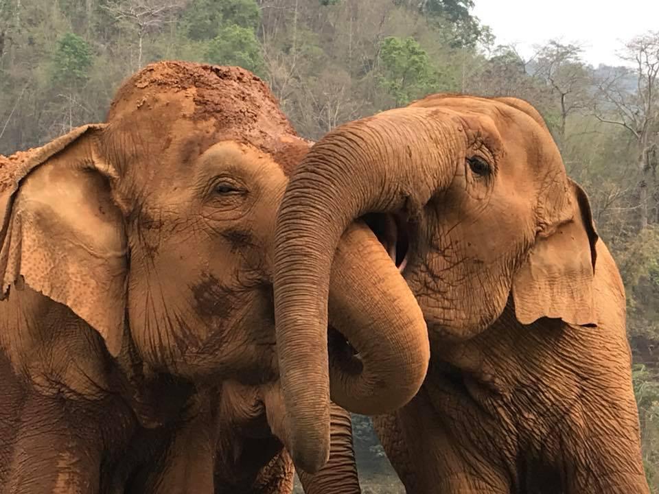Noodsituatie Thaise Olifanten
